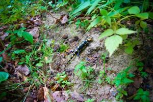 Bieszczady salamandra plamista
